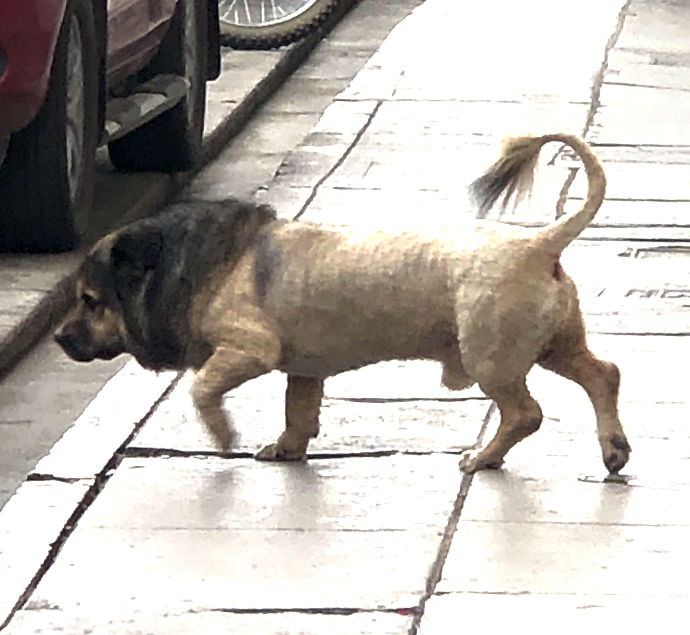 lion dog1..JPG