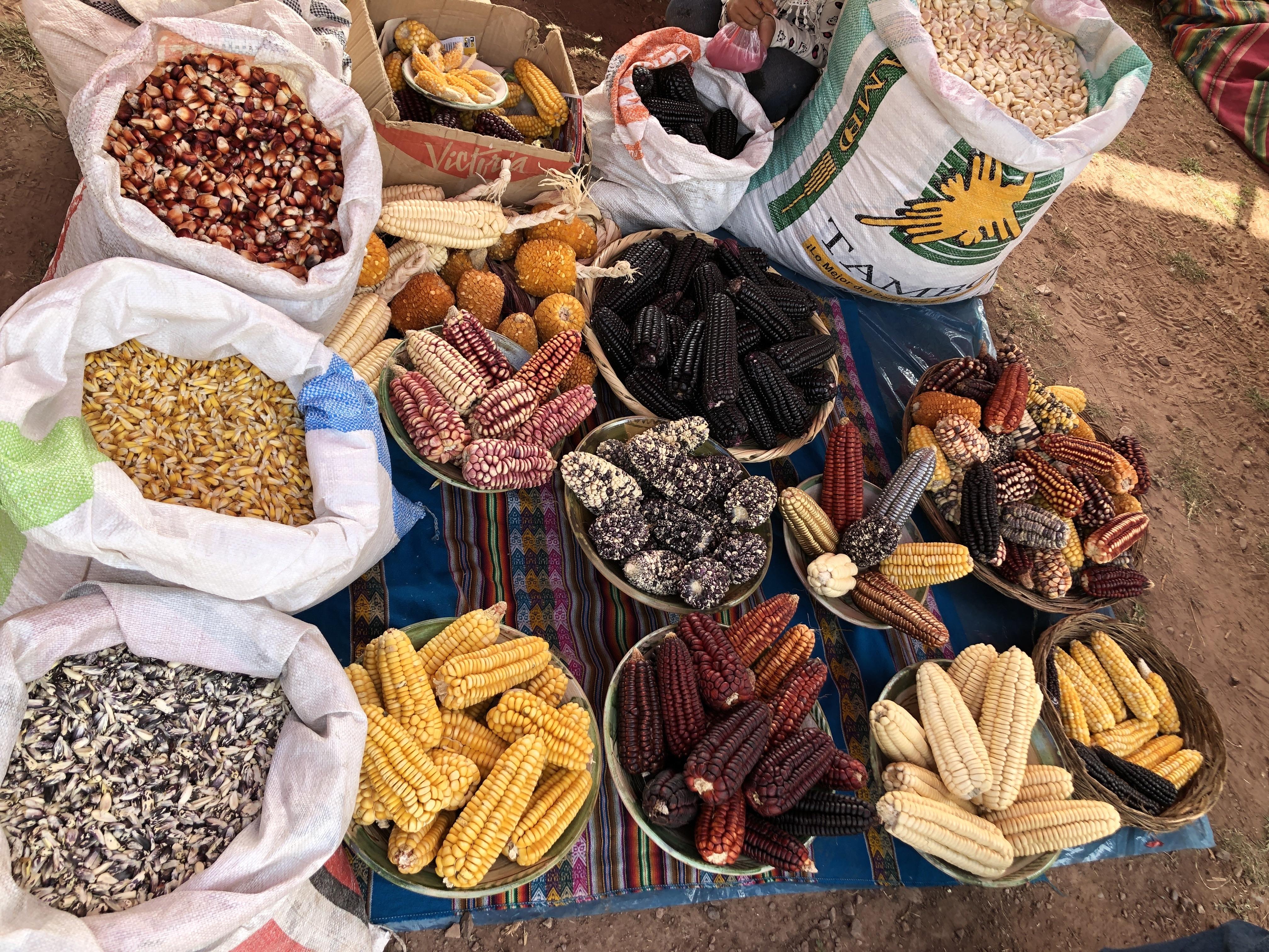 corn varieties ready for judging.jpg