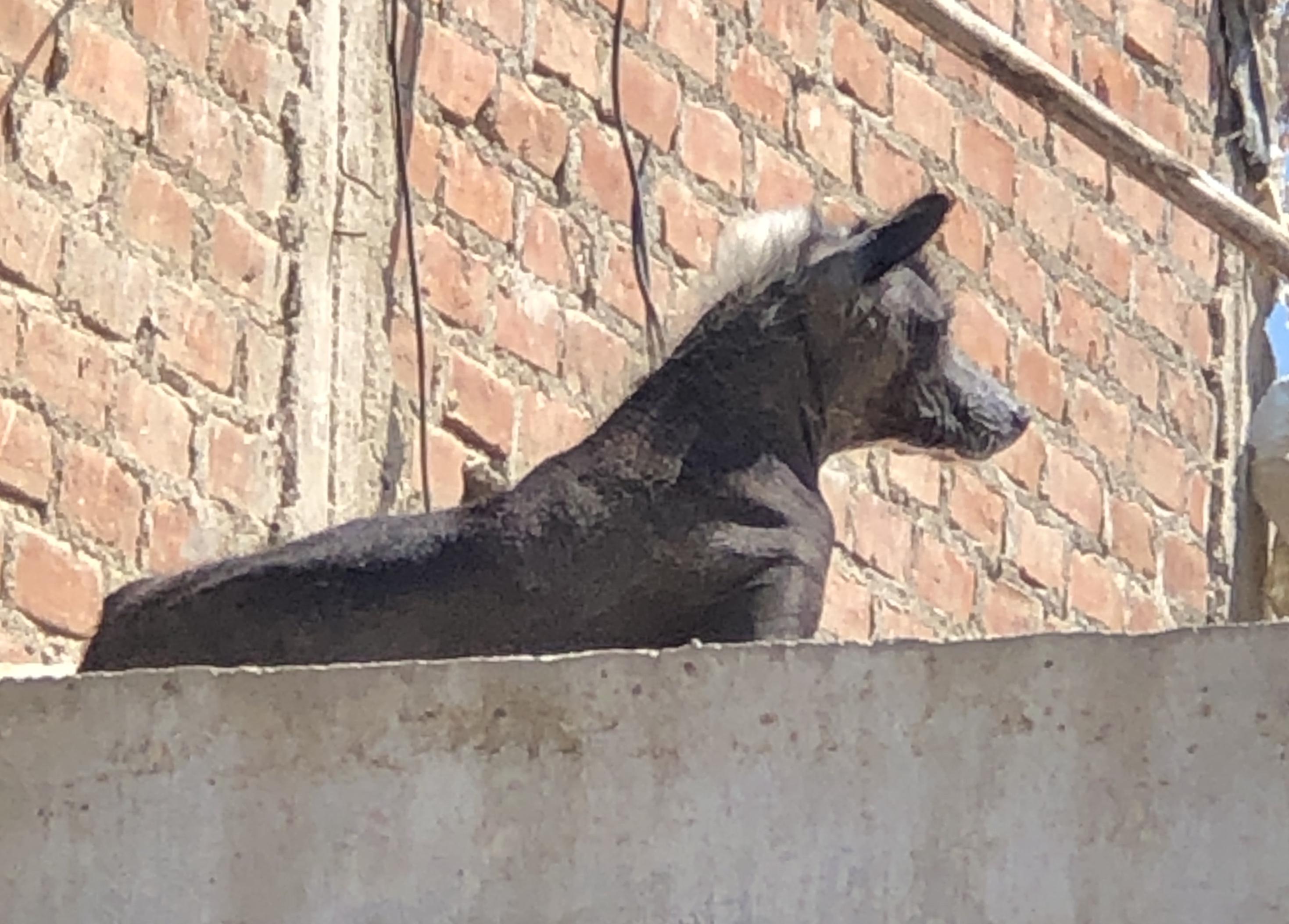 peruvian hairless dog.JPG