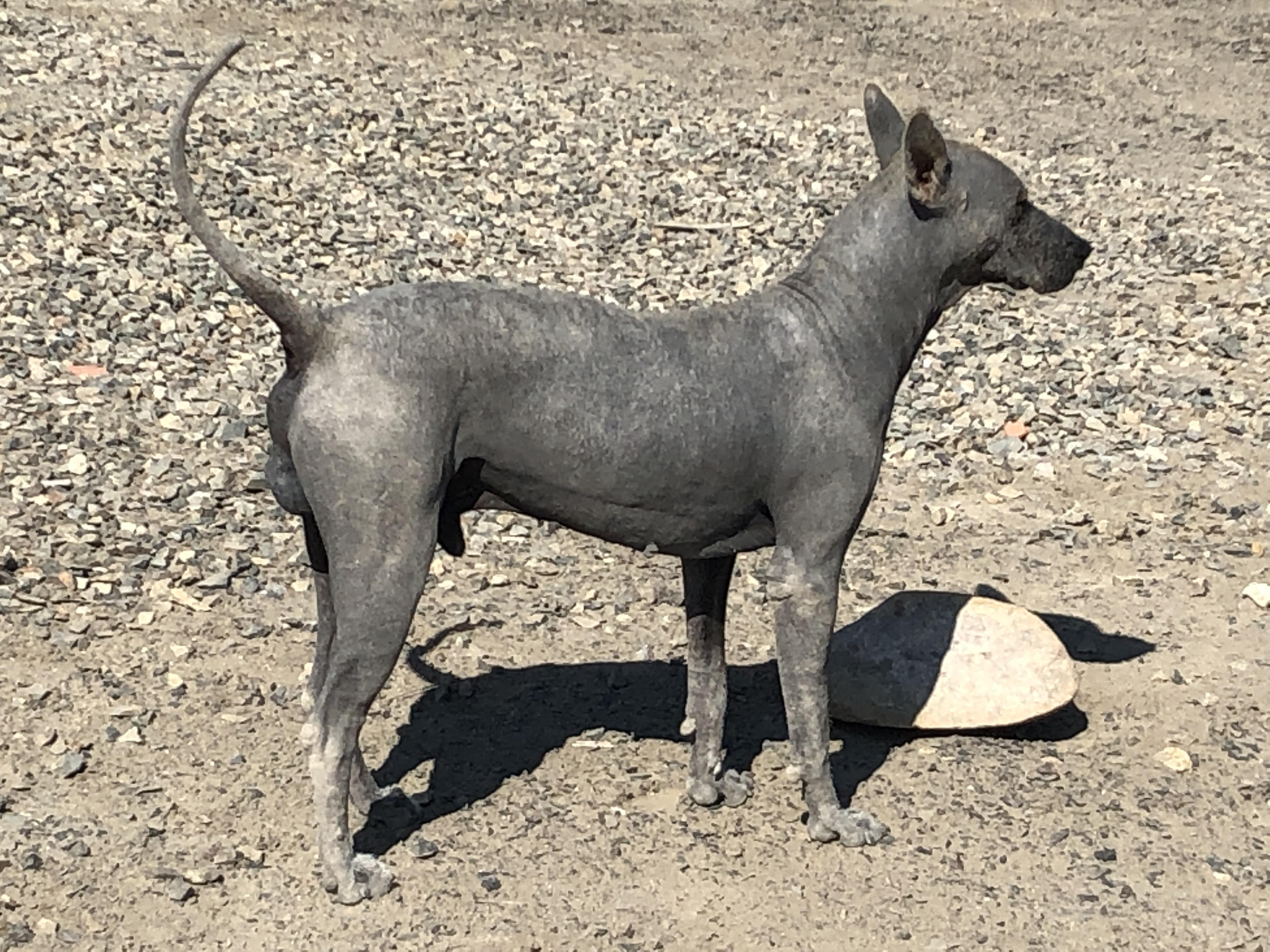 peruvianhairlessdog.JPG