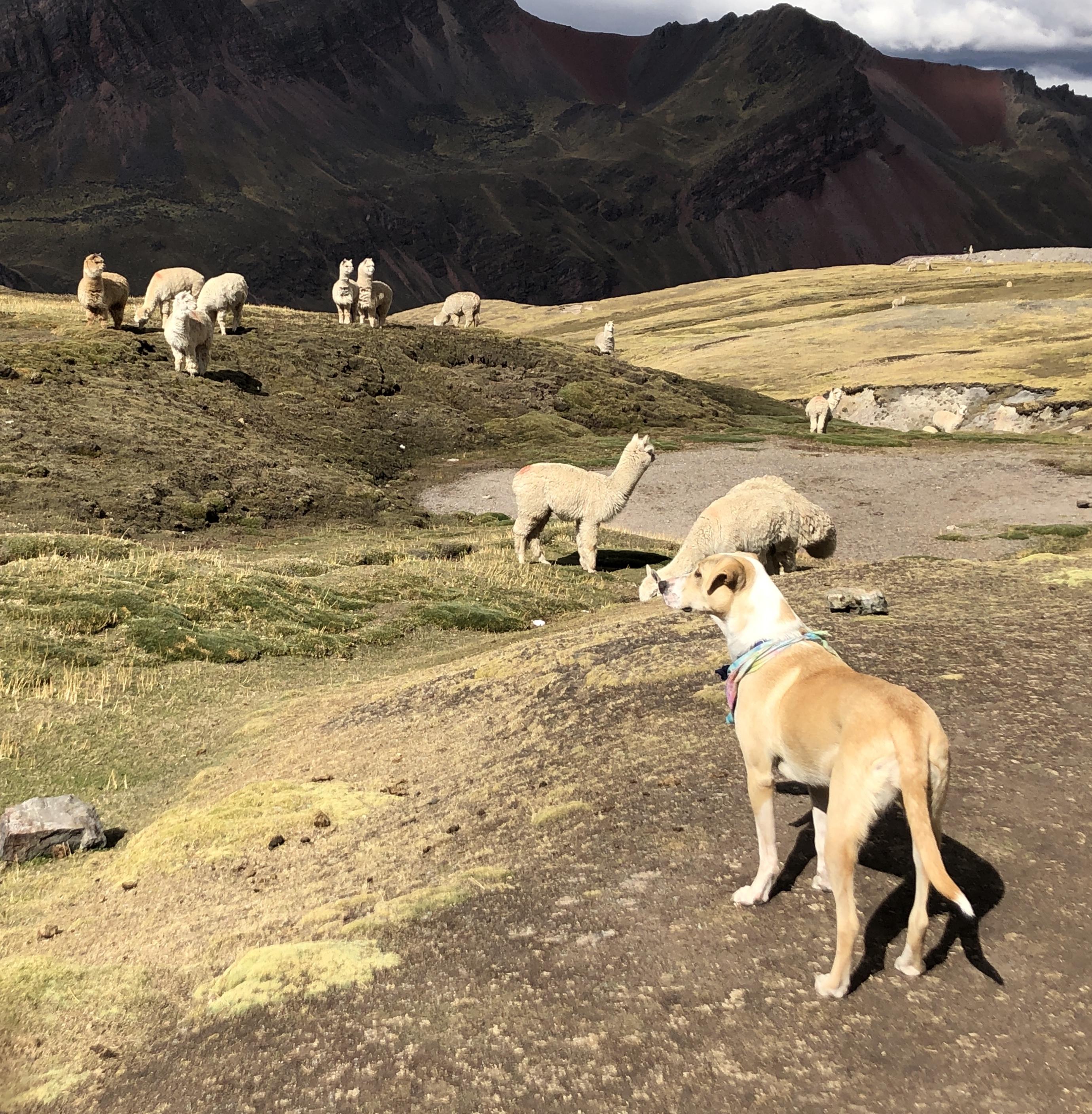 ascending pacha and llamas.JPG
