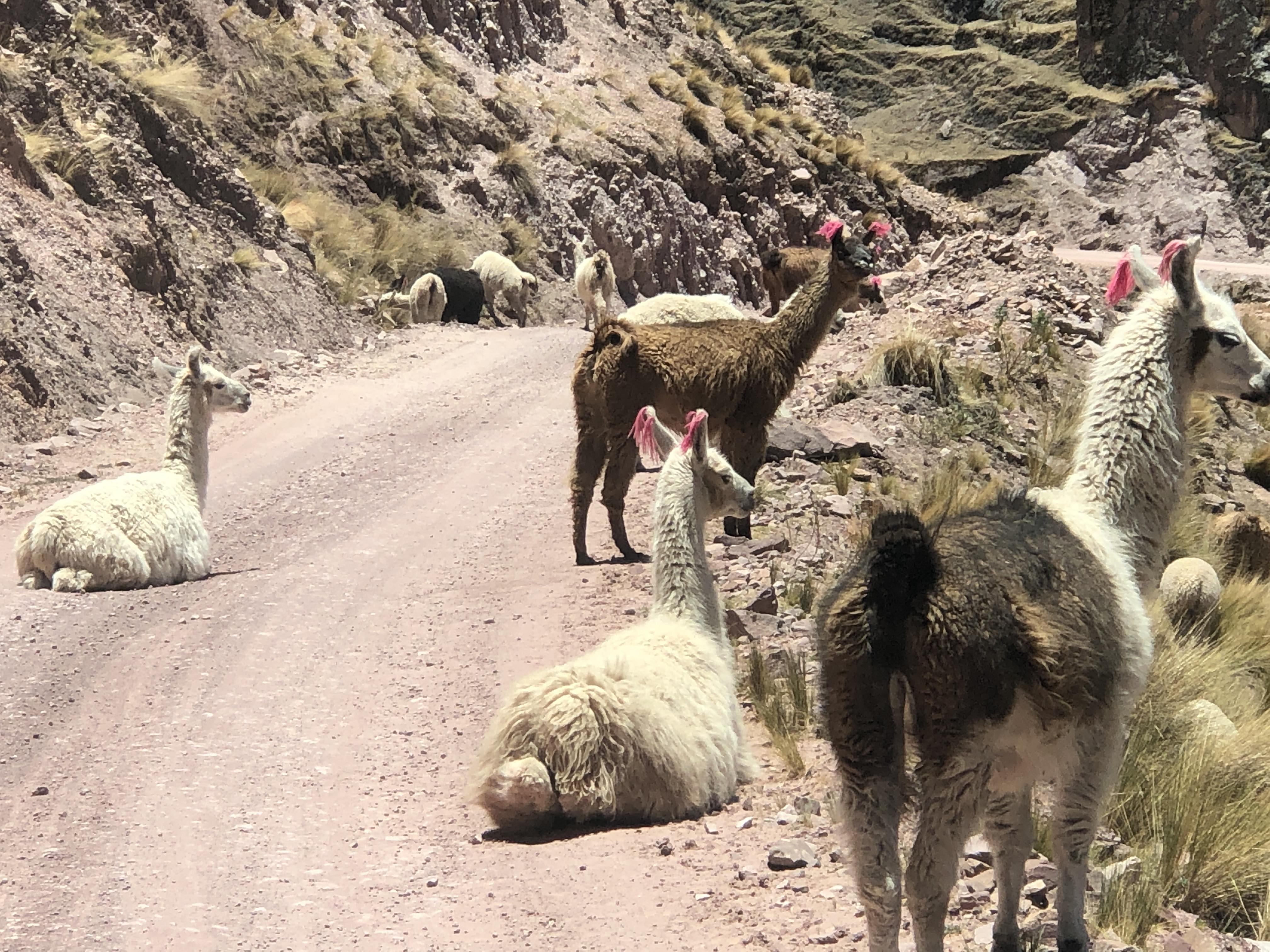 driving down llama roadblock.JPG